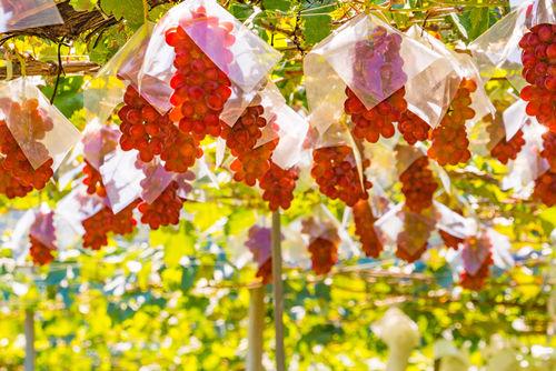日本でも「山梨ヌーボー」が解禁! 全国で収穫祭などのイベントも