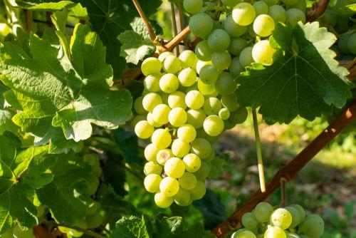 シャルドネの白ワインはなぜ人気?