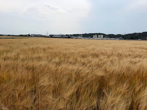 宮城県東松島の大麦畑