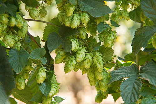 ビールの苦味や香りのもととなる「ホップ」とは?