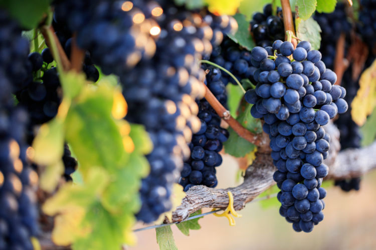 赤ワイン選びで覚えておきたい! 代表的なブドウ品種15種類