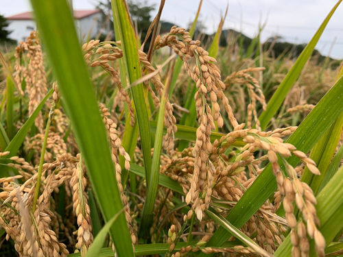 「二世古」は北海道の米で造られる