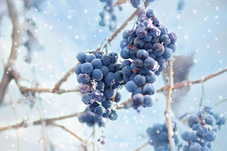 アイスワインは最高峰の甘口ワイン! おすすめの飲み方や銘柄を紹介