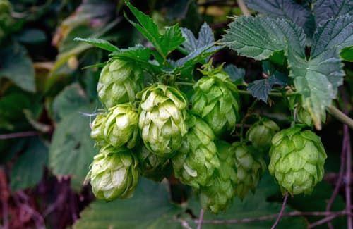ビールの原料の1つ「ホップ」