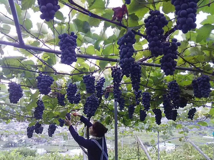 ケアフィットワイナリーのぶどう栽培