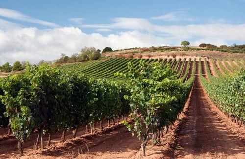 ワイン畑の様子
