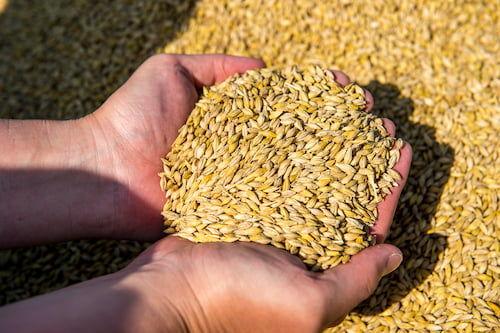 宮城県東松島産の「希望の大麦」