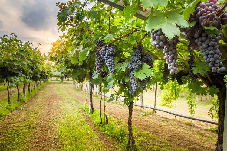 産地の風土を生かしたワイン造りに励む「あさや葡萄酒」