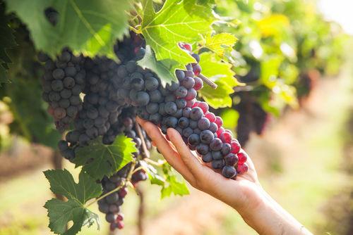 少量多品目、高品質なワイン造りを目指す「TOMOEワイン」