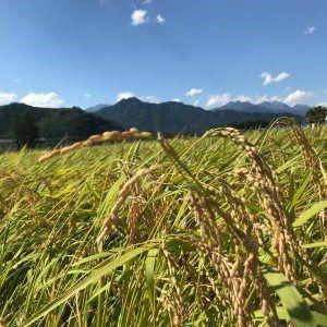 「真澄」の米は農家と杜氏の共同作品