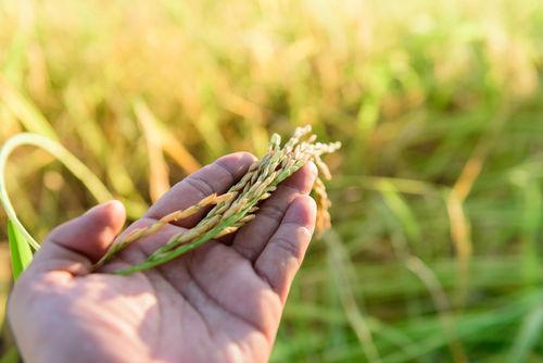 「天青」に使用する原料米は「山田錦」と「五百万石」