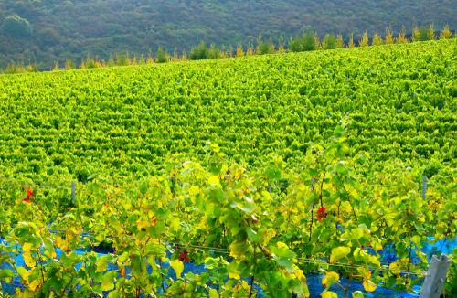 イギリスワインは意外に歴史の長いワイン