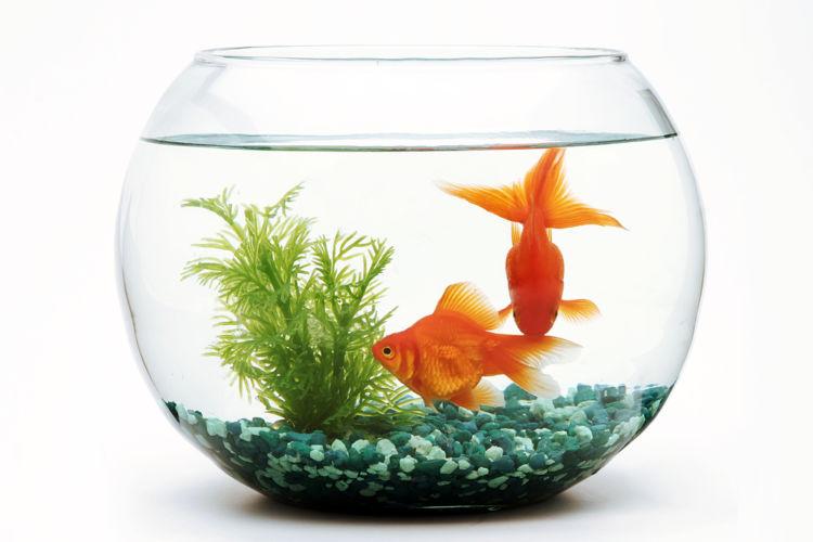 「金魚」という焼酎の粋な飲み方 グラスが小さな水槽に!?
